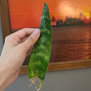 Small sansevieria cutting Rooted